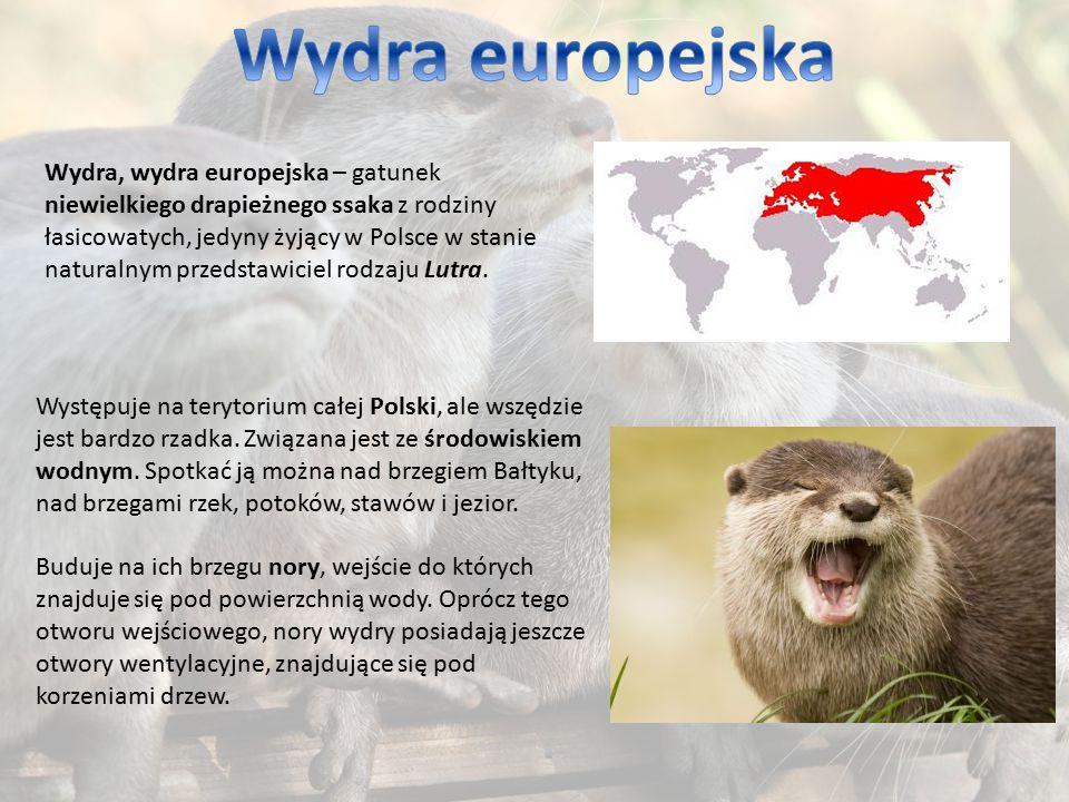 Wydra, wydra europejska – gatunek niewielkiego drapieżnego ssaka z rodziny łasicowatych, jedyny żyjący w Polsce w stanie naturalnym przedstawiciel rod