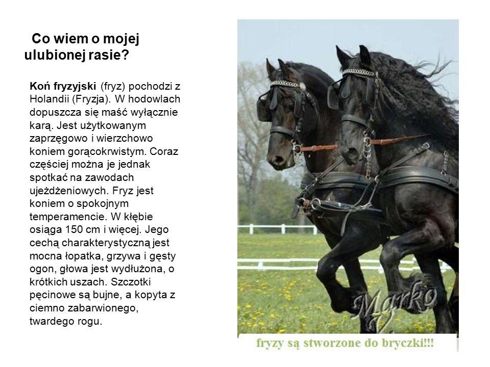 Co wiem o mojej ulubionej rasie? Koń fryzyjski (fryz) pochodzi z Holandii (Fryzja). W hodowlach dopuszcza się maść wyłącznie karą. Jest użytkowanym za