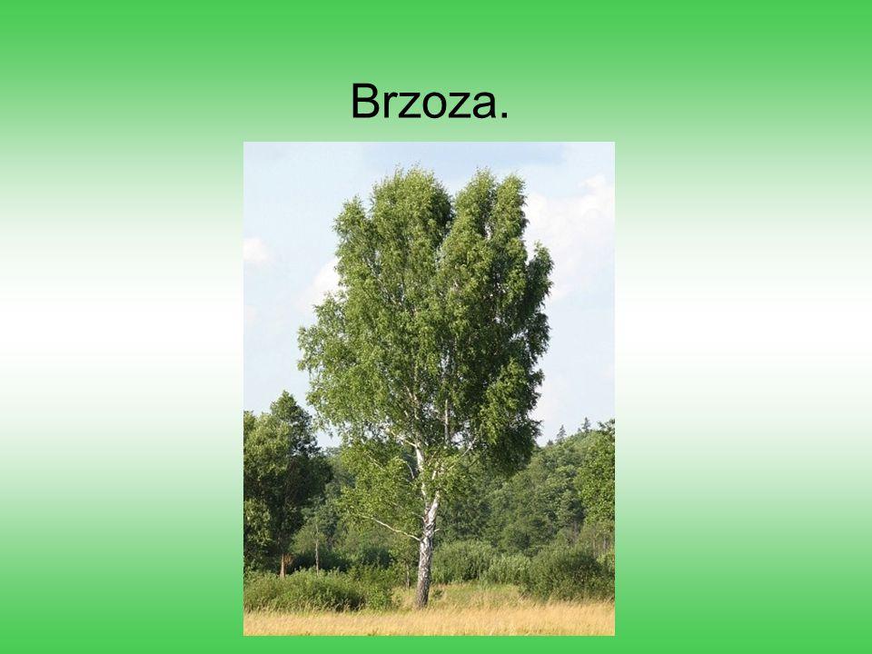 Brzoza.