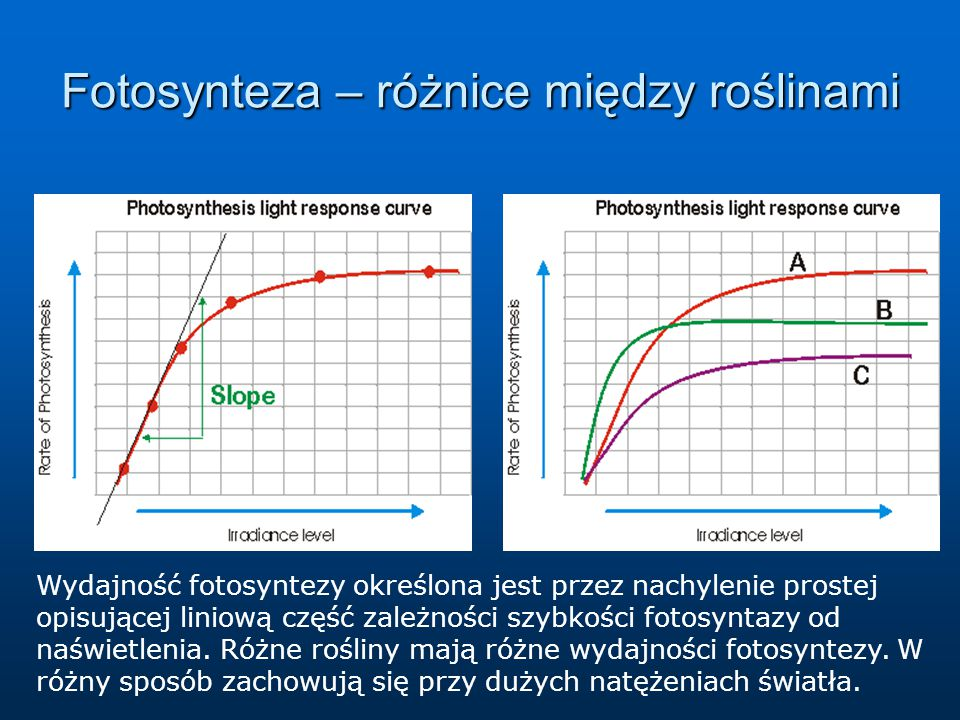 Fotosynteza – różnice między roślinami Wydajność fotosyntezy określona jest przez nachylenie prostej opisującej liniową część zależności szybkości fot