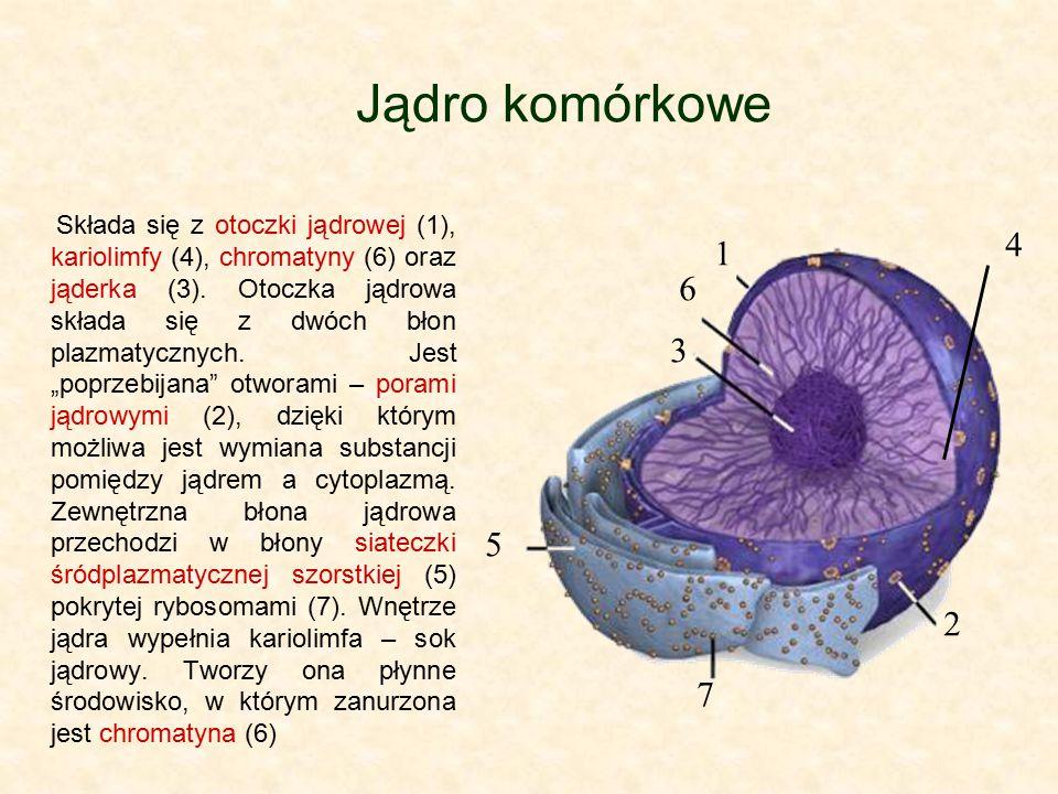 Jądro komórkowe Składa się z otoczki jądrowej (1), kariolimfy (4), chromatyny (6) oraz jąderka (3). Otoczka jądrowa składa się z dwóch błon plazmatycz