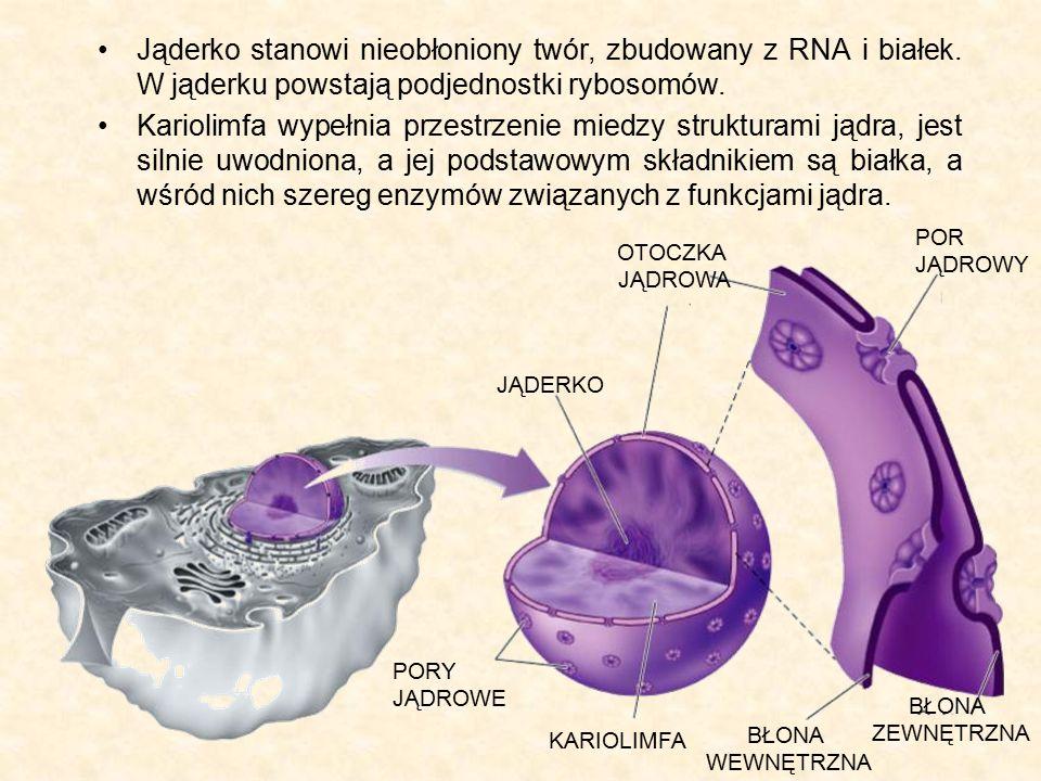 Jąderko stanowi nieobłoniony twór, zbudowany z RNA i białek. W jąderku powstają podjednostki rybosomów. Kariolimfa wypełnia przestrzenie miedzy strukt
