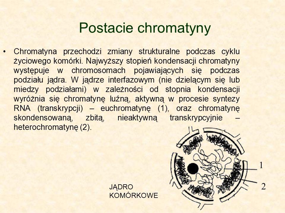 Postacie chromatyny Chromatyna przechodzi zmiany strukturalne podczas cyklu życiowego komórki. Najwyższy stopień kondensacji chromatyny występuje w ch