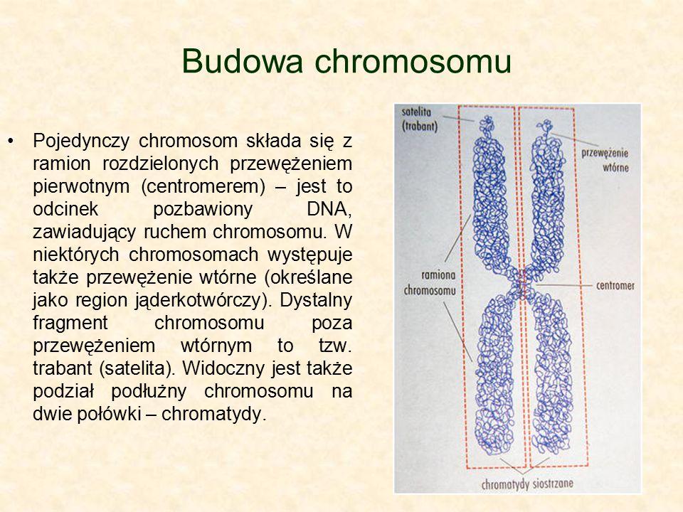 Budowa chromosomu Pojedynczy chromosom składa się z ramion rozdzielonych przewężeniem pierwotnym (centromerem) – jest to odcinek pozbawiony DNA, zawia