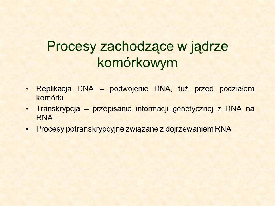 Procesy zachodzące w jądrze komórkowym Replikacja DNA – podwojenie DNA, tuż przed podziałem komórki Transkrypcja – przepisanie informacji genetycznej