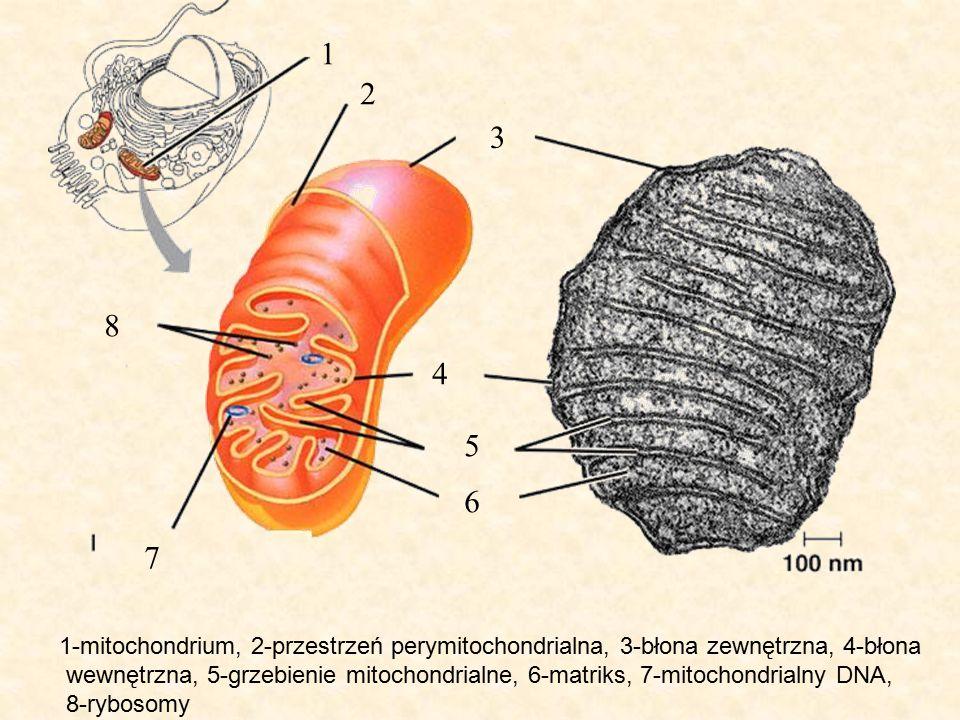 1 2 3 4 5 6 7 8 1-mitochondrium, 2-przestrzeń perymitochondrialna, 3-błona zewnętrzna, 4-błona wewnętrzna, 5-grzebienie mitochondrialne, 6-matriks, 7-