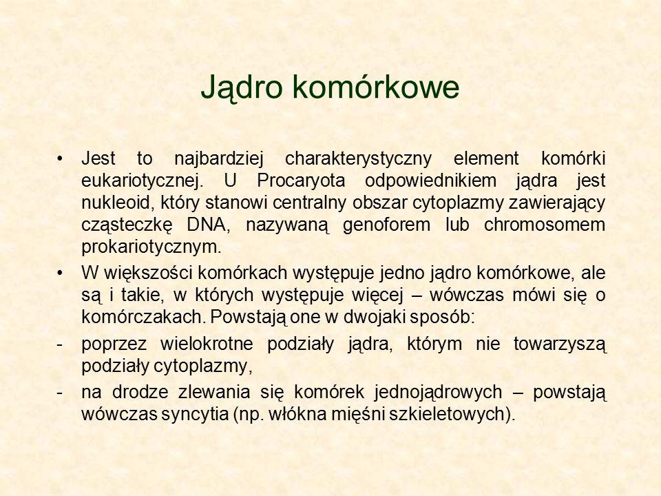Jądro komórkowe Jest to najbardziej charakterystyczny element komórki eukariotycznej. U Procaryota odpowiednikiem jądra jest nukleoid, który stanowi c