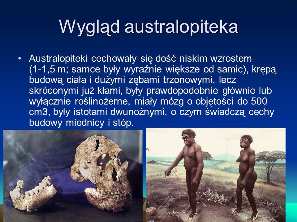 Wygląd australopiteka Australopiteki cechowały się dość niskim wzrostem (1-1,5 m; samce były wyraźnie większe od samic), krępą budową ciała i dużymi zębami trzonowymi, lecz skróconymi już kłami, były prawdopodobnie głównie lub wyłącznie roślinożerne, miały mózg o objętości do 500 cm3, były istotami dwunożnymi, o czym świadczą cechy budowy miednicy i stóp.