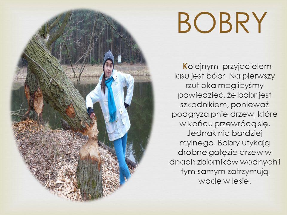 BOBRY K olejnym przyjacielem lasu jest bóbr.