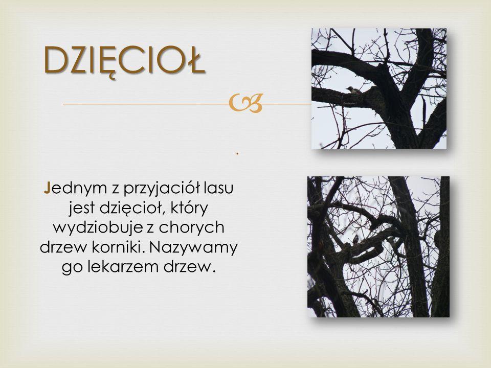 DZIĘCIOŁ J ednym z przyjaciół lasu jest dzięcioł, który wydziobuje z chorych drzew korniki. Nazywamy go lekarzem drzew..