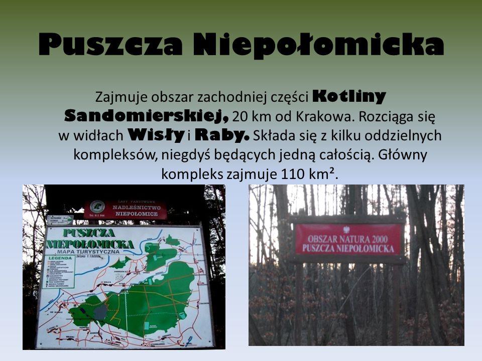 Puszcza Niepołomicka Zajmuje obszar zachodniej części Kotliny Sandomierskiej, 20 km od Krakowa. Rozciąga się w widłach Wisły i Raby. Składa się z kilk