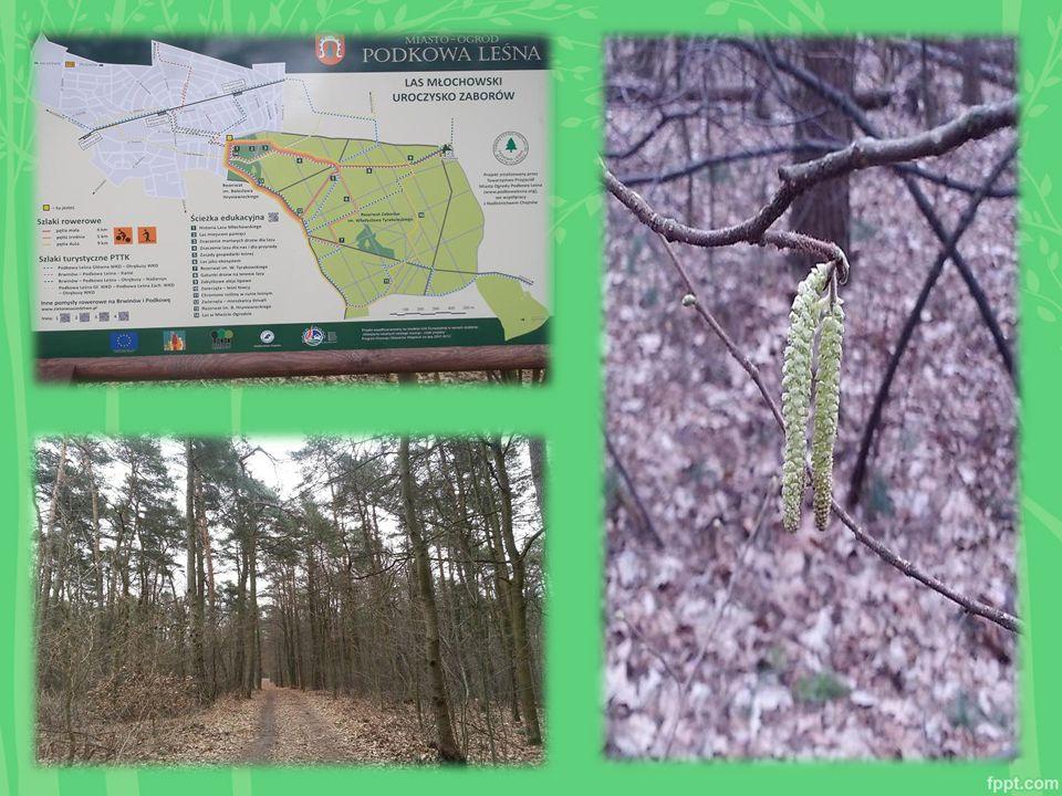 Las jako pamiątka historyczna Na terenie lasu zlokalizowano 2 groby zbiorowe z czasów ostatniej wojny i kilka bezimiennych mogił.