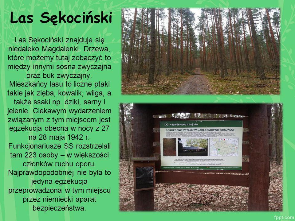 Las Sękociński Las Sękociński znajduje się niedaleko Magdalenki. Drzewa, które możemy tutaj zobaczyć to między innymi sosna zwyczajna oraz buk zwyczaj