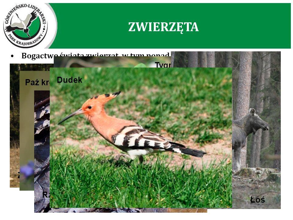 Bogactwo świata zwierząt, w tym ponad 250 gatunków kręgowców Żuraw – symbol GLPK Paź królowej Rzekotka Drzewna Tygrzyk Paskowany ZWIERZĘTA Łoś Dudek