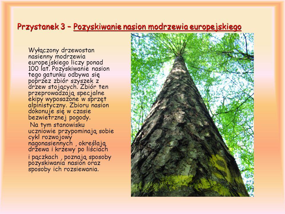 Przystanek 3 – Pozyskiwanie nasion modrzewia europejskiego Wyłączony drzewostan nasienny modrzewia europejskiego liczy ponad 100 lat. Pozyskiwanie nas