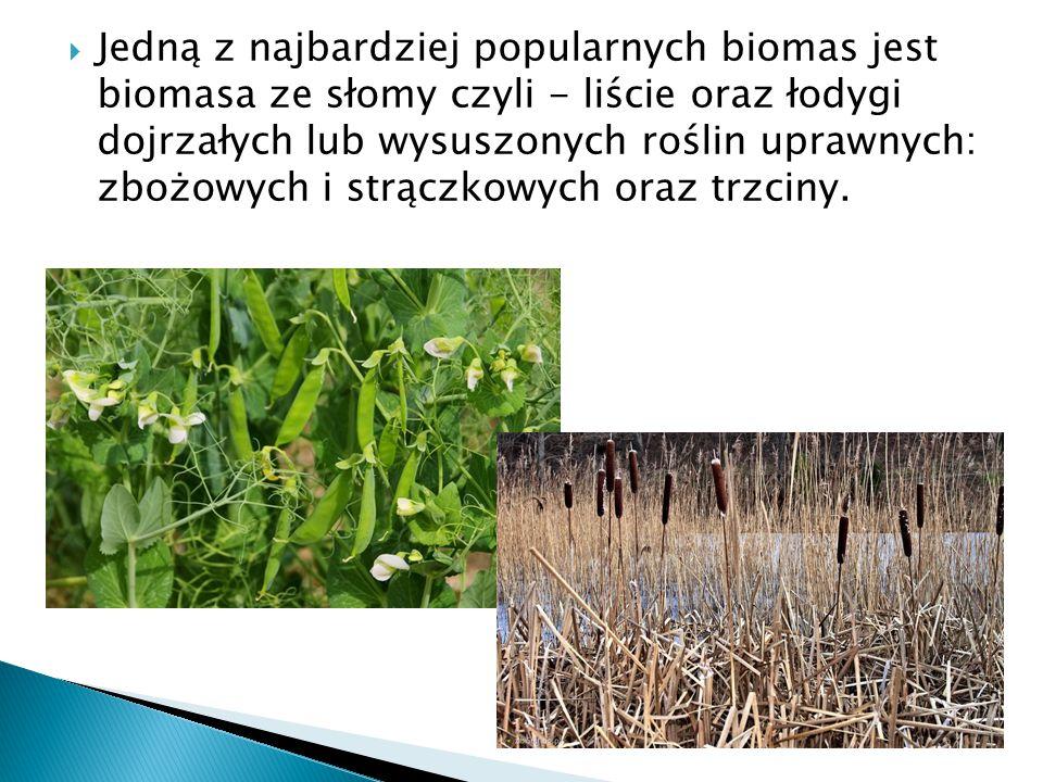  Jedną z najbardziej popularnych biomas jest biomasa ze słomy czyli - liście oraz łodygi dojrzałych lub wysuszonych roślin uprawnych: zbożowych i strączkowych oraz trzciny.
