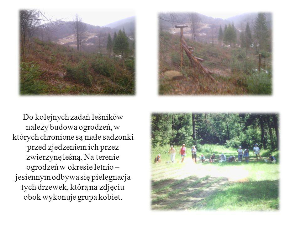 Do kolejnych zadań leśników należy budowa ogrodzeń, w których chronione są małe sadzonki przed zjedzeniem ich przez zwierzynę leśną. Na terenie ogrodz