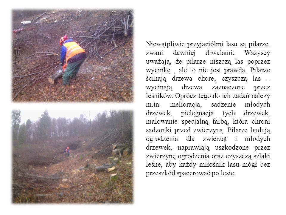 Niewątpliwie przyjaciółmi lasu są pilarze, zwani dawniej drwalami. Wszyscy uważają, że pilarze niszczą las poprzez wycinkę, ale to nie jest prawda. Pi