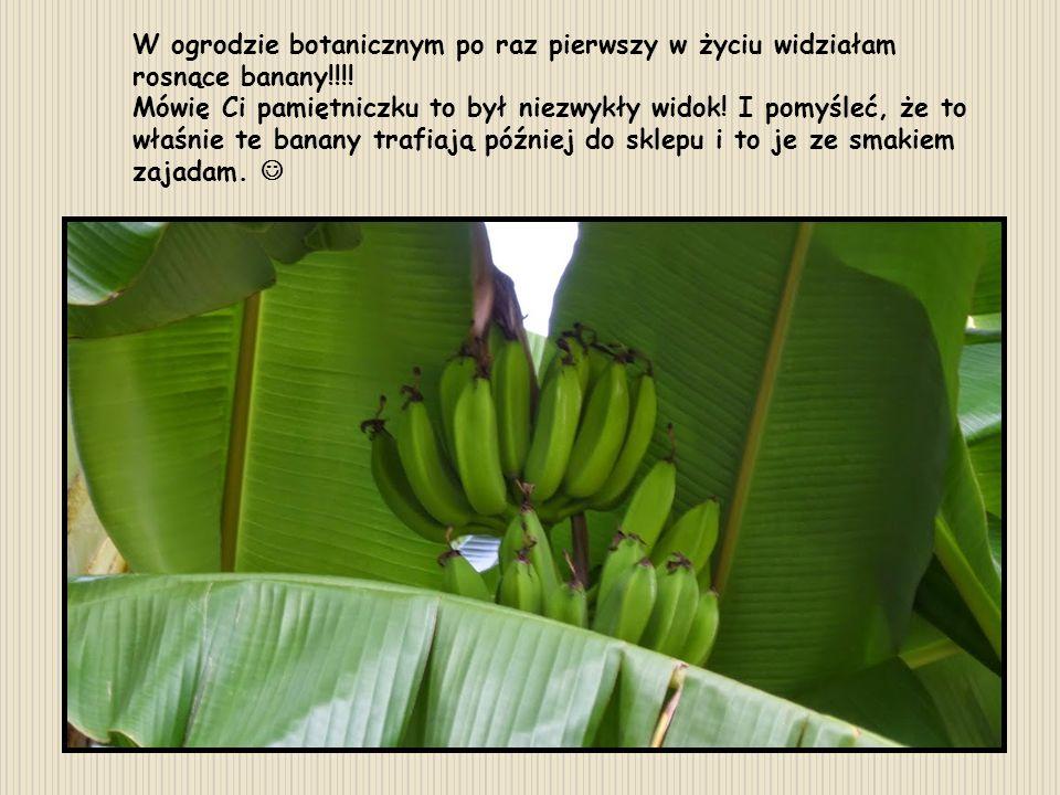 W ogrodzie botanicznym po raz pierwszy w życiu widziałam rosnące banany!!!! Mówię Ci pamiętniczku to był niezwykły widok! I pomyśleć, że to właśnie te