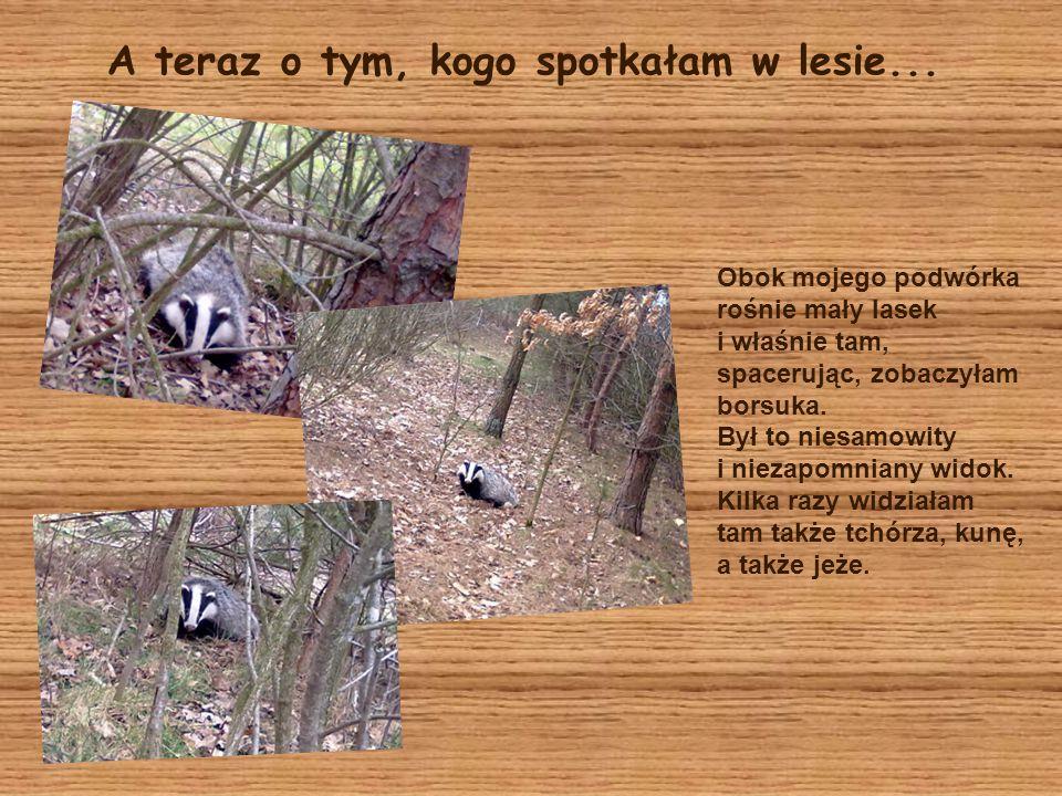 A teraz o tym, kogo spotkałam w lesie... Obok mojego podwórka rośnie mały lasek i właśnie tam, spacerując, zobaczyłam borsuka. Był to niesamowity i ni