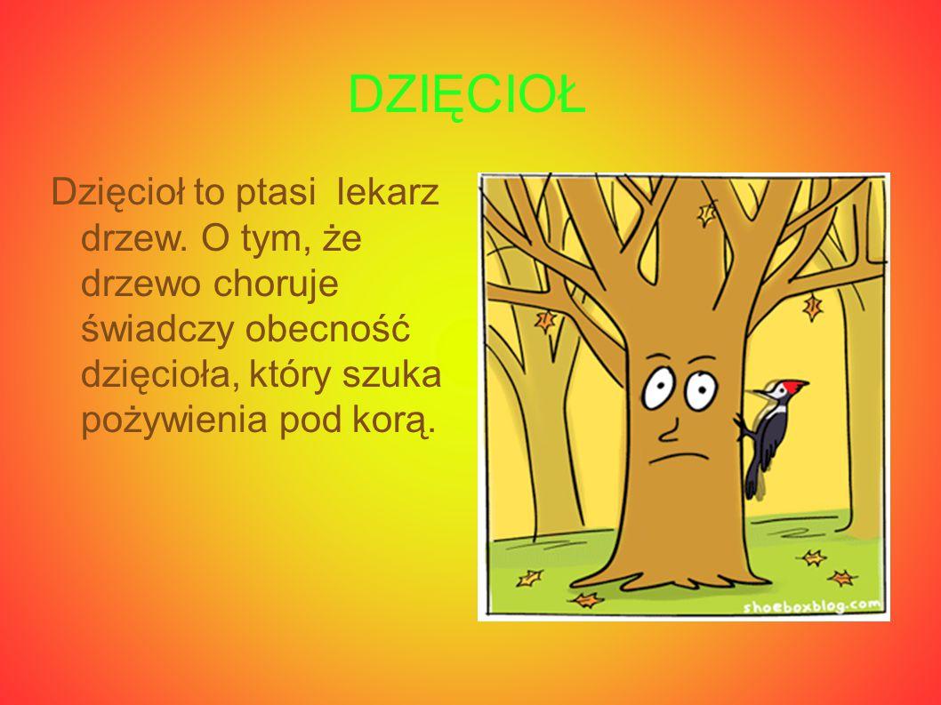 DZIĘCIOŁ Dzięcioł to ptasi lekarz drzew. O tym, że drzewo choruje świadczy obecność dzięcioła, który szuka pożywienia pod korą.