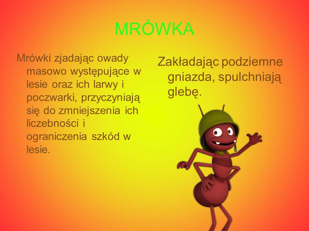 MRÓWKA Mrówki zjadając owady masowo występujące w lesie oraz ich larwy i poczwarki, przyczyniają się do zmniejszenia ich liczebności i ograniczenia sz
