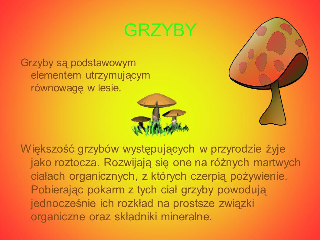 GRZYBY Grzyby są podstawowym elementem utrzymującym równowagę w lesie. Większość grzybów występujących w przyrodzie żyje jako roztocza. Rozwijają się