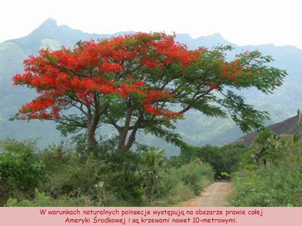 Aztecka legenda głosi, że płonący kwiat, jak nazywali go Aztekowie, jest zabarwiony krwią bogini, której serce pękło z miłości.