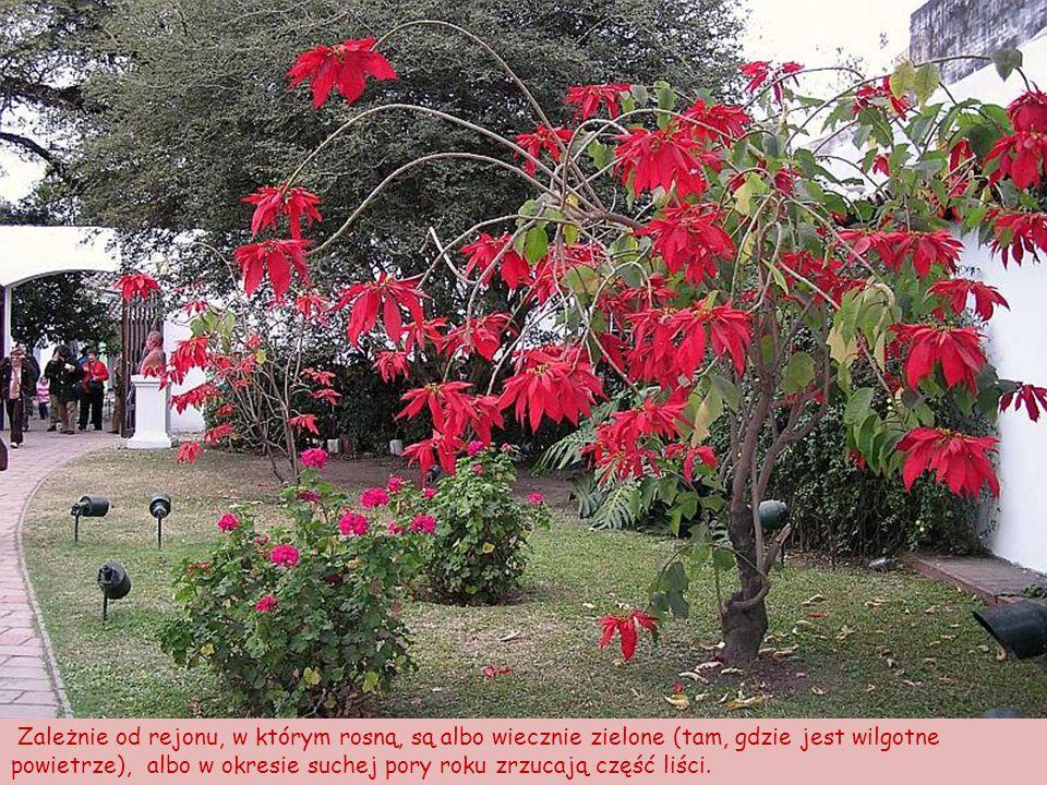 W warunkach naturalnych poinsecje występują na obszarze prawie całej Ameryki Środkowej i są krzewami nawet 10-metrowymi.