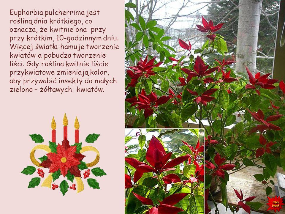 12 grudnia obchodzony jest w USA Narodowy Dzień Poinsecji. Został on uchwalony przez Kongres USA dla upamiętnienia rocznicy śmierci popularyzatora tej