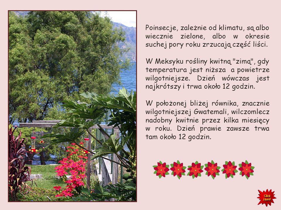 Euphorbia pulcherrima jest rośliną dnia krótkiego, co oznacza, że kwitnie ona przy przy krótkim, 10-godzinnym dniu. Więcej światła hamuje tworzenie kw