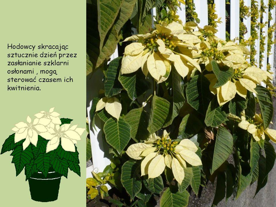 Poinsecje, zależnie od klimatu, są albo wiecznie zielone, albo w okresie suchej pory roku zrzucają część liści. W Meksyku rośliny kwitną