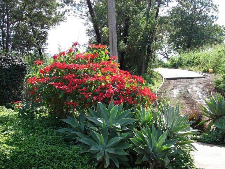 Hodowcy skracając sztucznie dzień przez zasłanianie szklarni osłonami, mogą sterować czasem ich kwitnienia.