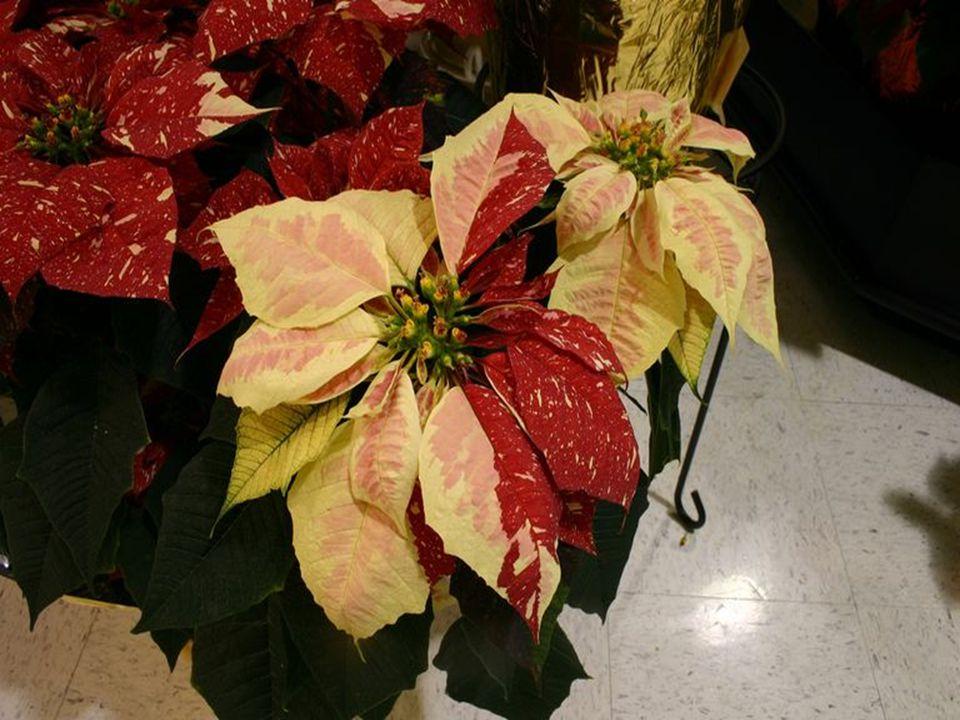 Wyhodowano ponad 100 odmian różniących się barwą liści przykwiatowych. Przy odpowiedniej pielęgnacji kolorowe liście zachowują swoją piękną barwę prze