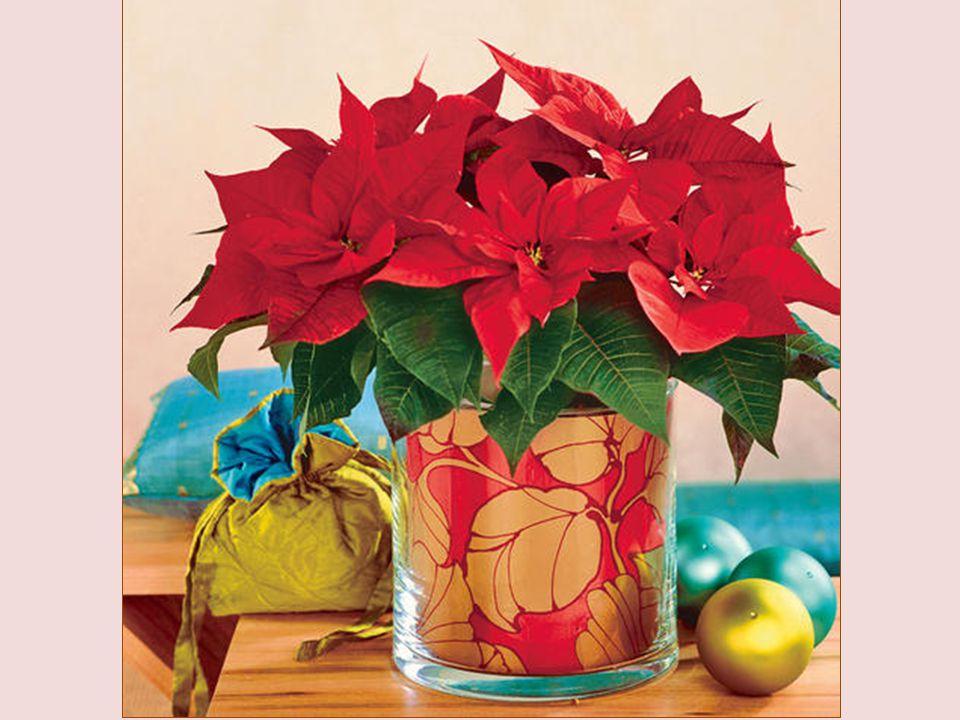 Poinscencja, zazwyczaj w doniczce, staje się coraz częstszą ozdobą w okresie Adwentu i Świąt Bożego Narodzenia. Zwyczaj dekorowania nią domu przywędro
