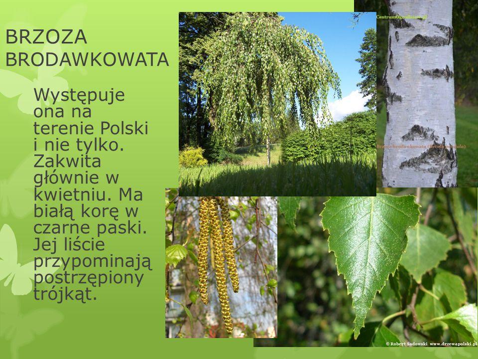 BRZOZA BRODAWKOWATA Występuje ona na terenie Polski i nie tylko. Zakwita głównie w kwietniu. Ma białą korę w czarne paski. Jej liście przypominają pos
