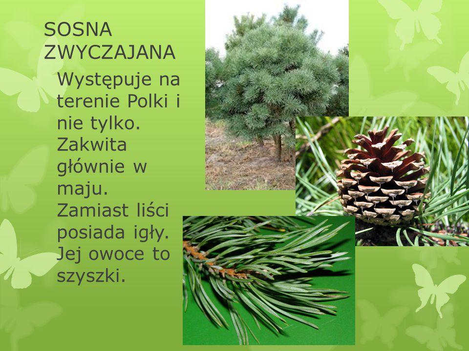 SOSNA ZWYCZAJANA Występuje na terenie Polki i nie tylko. Zakwita głównie w maju. Zamiast liści posiada igły. Jej owoce to szyszki.