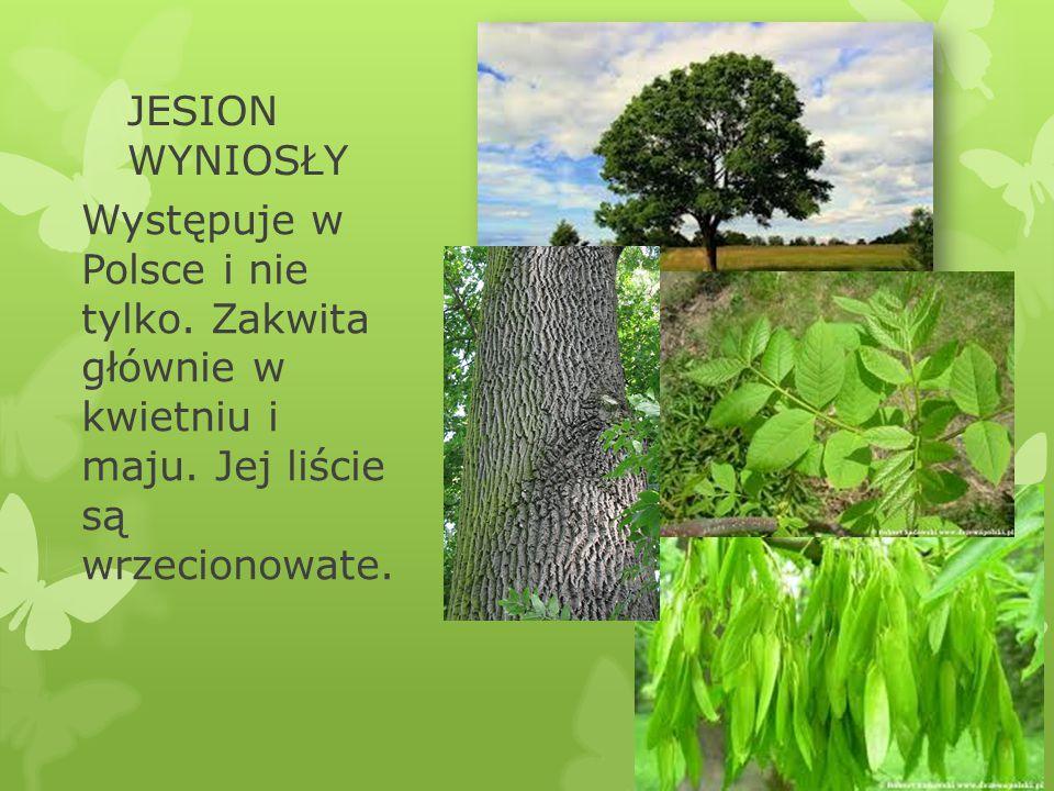 JESION WYNIOSŁY Występuje w Polsce i nie tylko. Zakwita głównie w kwietniu i maju. Jej liście są wrzecionowate.