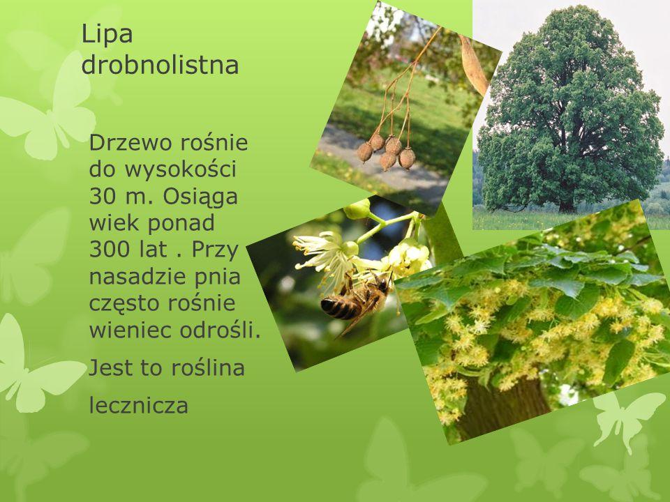 Lipa drobnolistna Drzewo rośnie do wysokości 30 m. Osiąga wiek ponad 300 lat. Przy nasadzie pnia często rośnie wieniec odrośli. Jest to roślina leczni