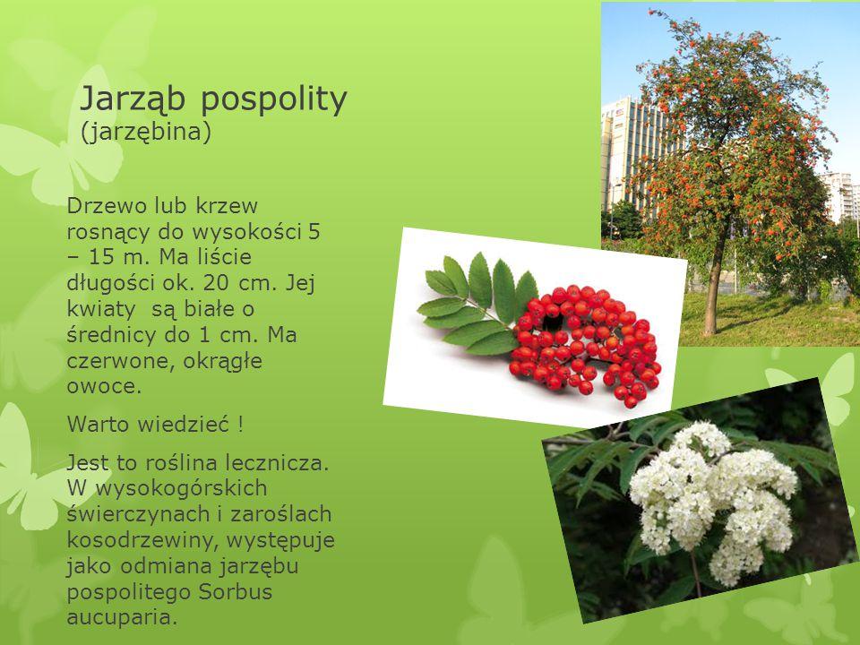 Jarząb pospolity (jarzębina) Drzewo lub krzew rosnący do wysokości 5 – 15 m. Ma liście długości ok. 20 cm. Jej kwiaty są białe o średnicy do 1 cm. Ma