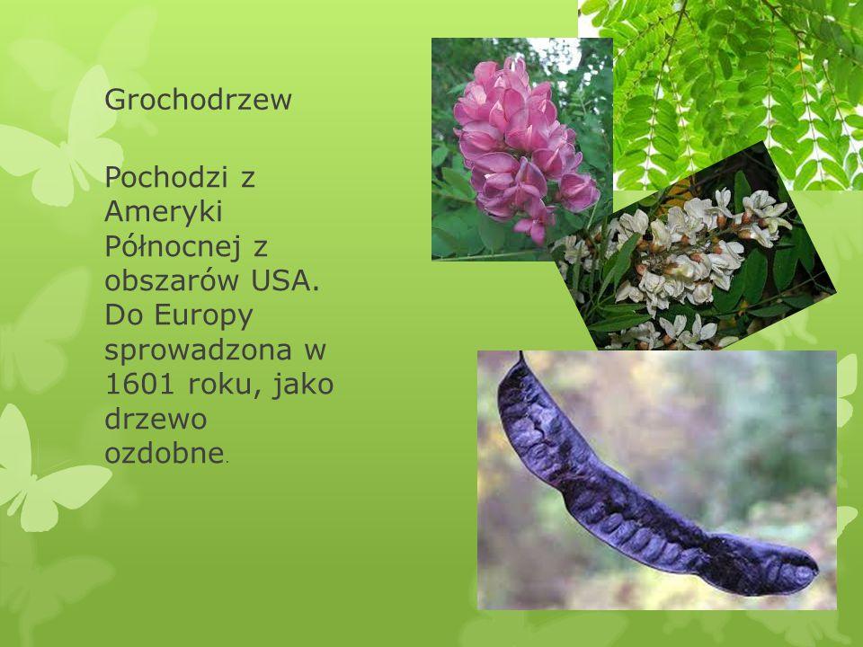 Grochodrzew Pochodzi z Ameryki Północnej z obszarów USA. Do Europy sprowadzona w 1601 roku, jako drzewo ozdobne.