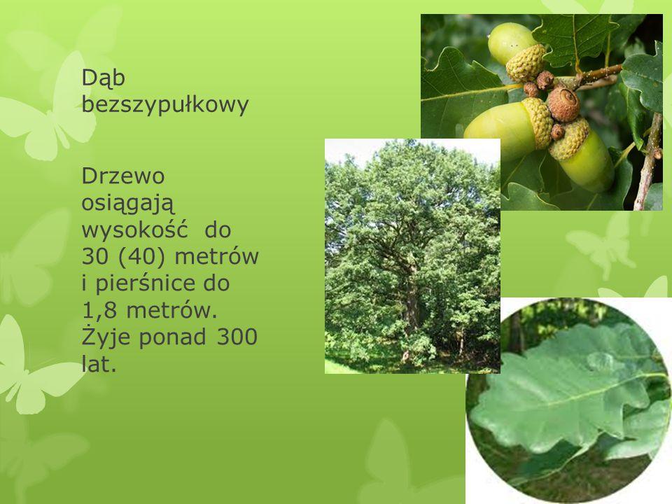 Dąb bezszypułkowy Drzewo osiągają wysokość do 30 (40) metrów i pierśnice do 1,8 metrów. Żyje ponad 300 lat.