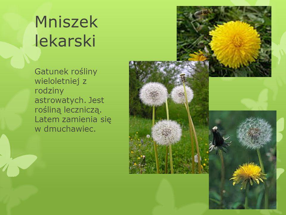 Mniszek lekarski Gatunek rośliny wieloletniej z rodziny astrowatych. Jest rośliną leczniczą. Latem zamienia się w dmuchawiec.