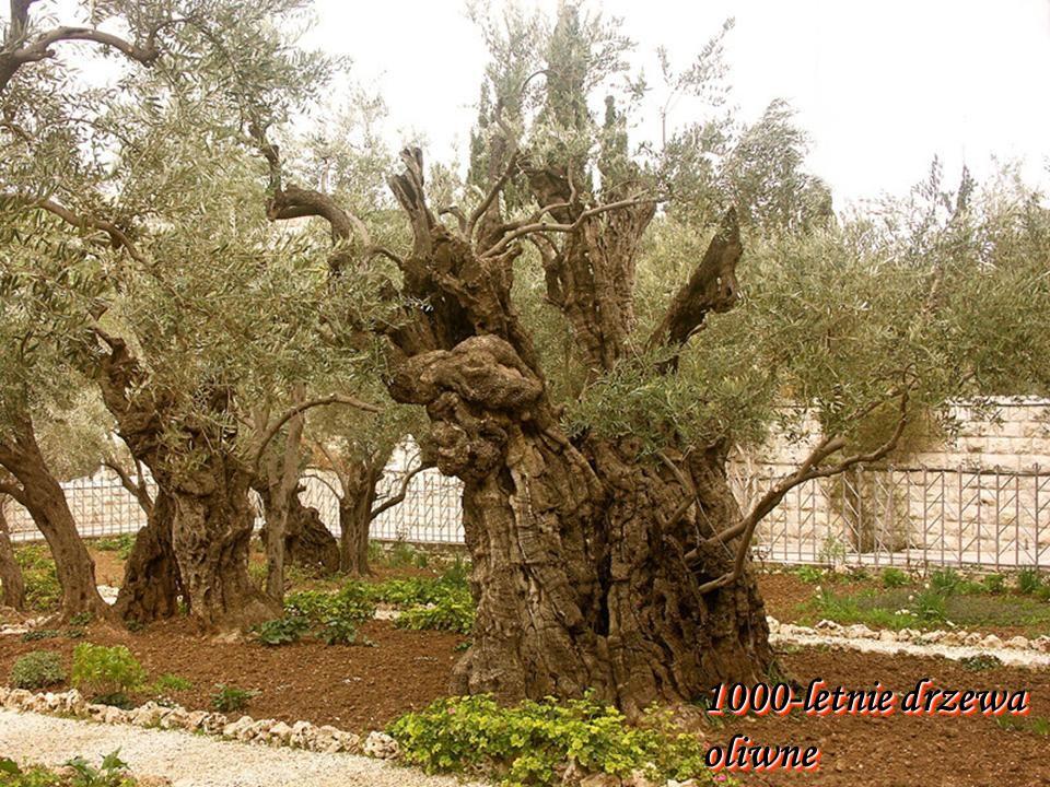 1000-letnie drzewa oliwne