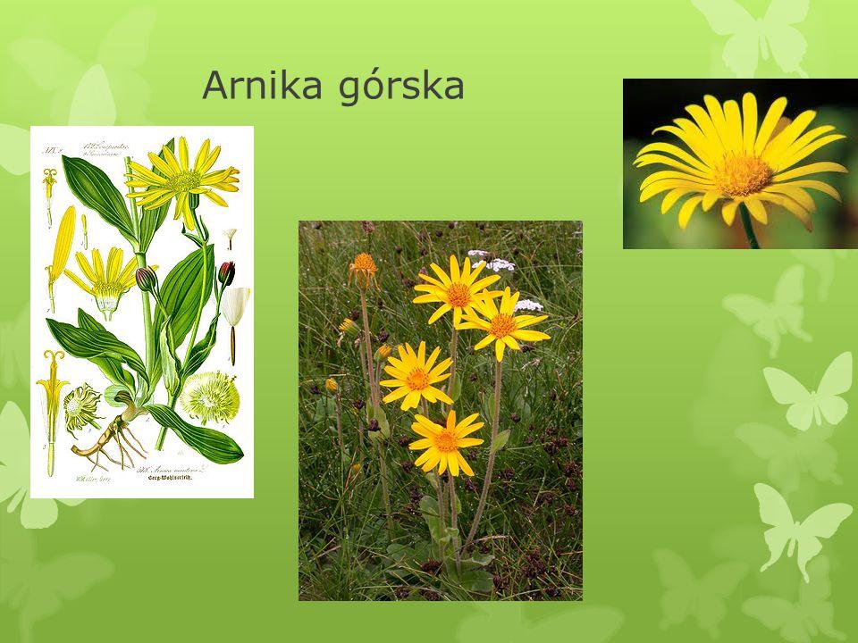 V.Arnika górska Arnica montana  Dawniej w Bawarii, w wigilię św.