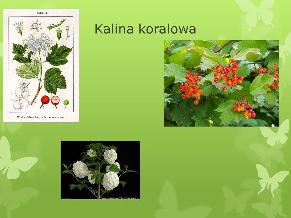 VII. Kalina koralowa Viburnum opulus  Owoce dostarczają czerwonego barwnika, a kora czarnozielonego, stosowanego do farbowania wełny.  Kalina jest r