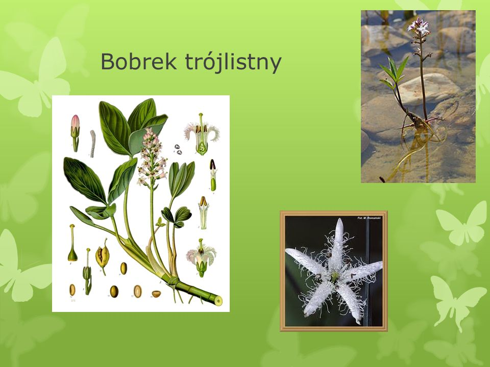 VIII.Bobrek trójlistny Menyanthes trifoliata  Surowcem lekarskim bobrka są liście.