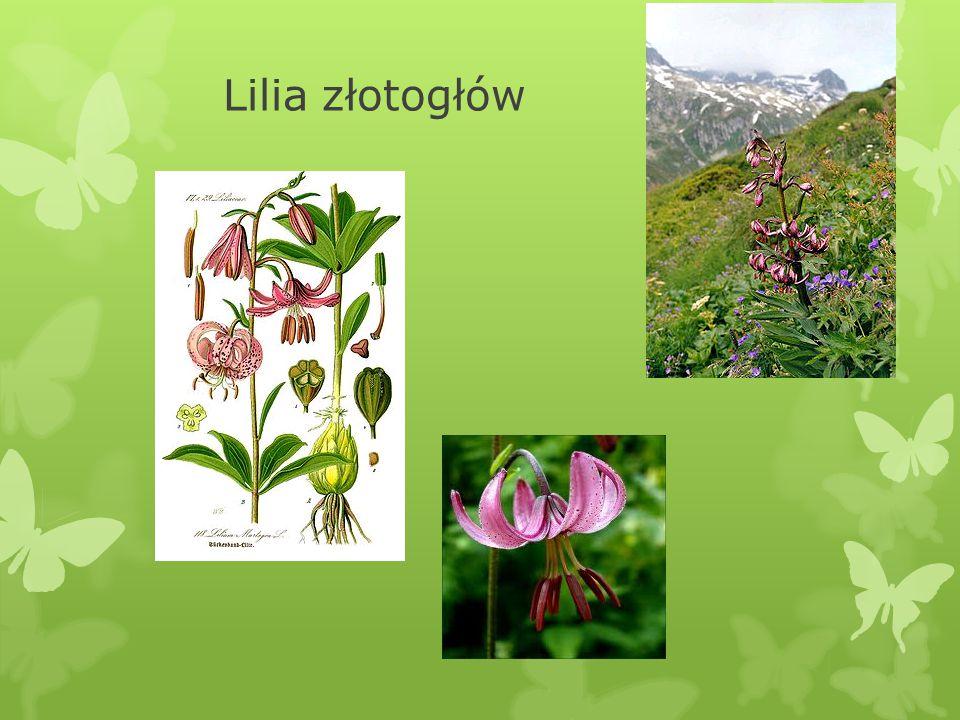 X. Lilia złotogłów Lilium martagon  Dawniej jej cebulki uchodziły za przysmak w każdej postaci: surowej, gotowanej i pieczonej.  Gatunek byliny z ro
