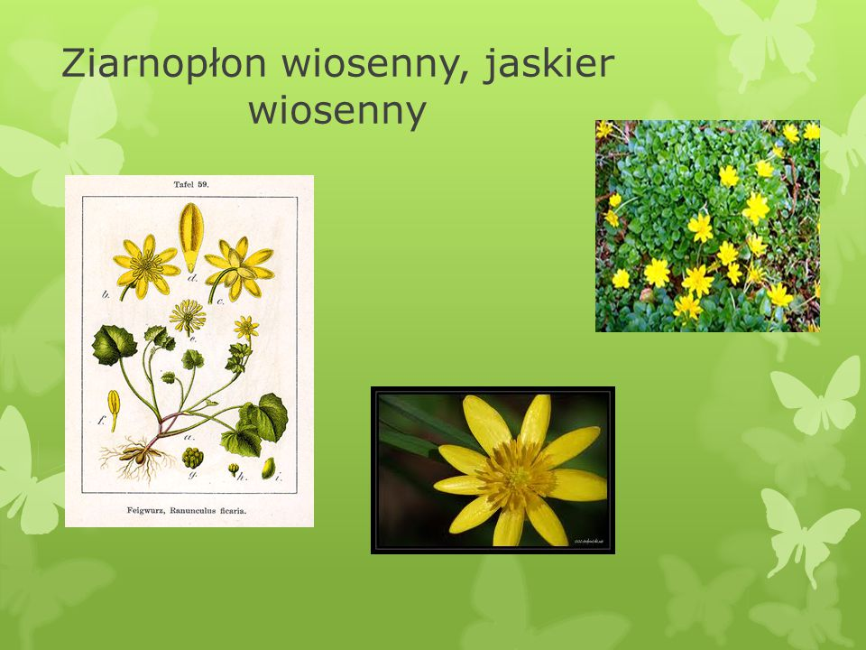 III. Ziarnopłon wiosenny, jaskier wiosenny Ficaria verna Huds  Ziele ziarnopłonu (Herba Ficariae) ma pewne własności lecznicze i dawniej było używane