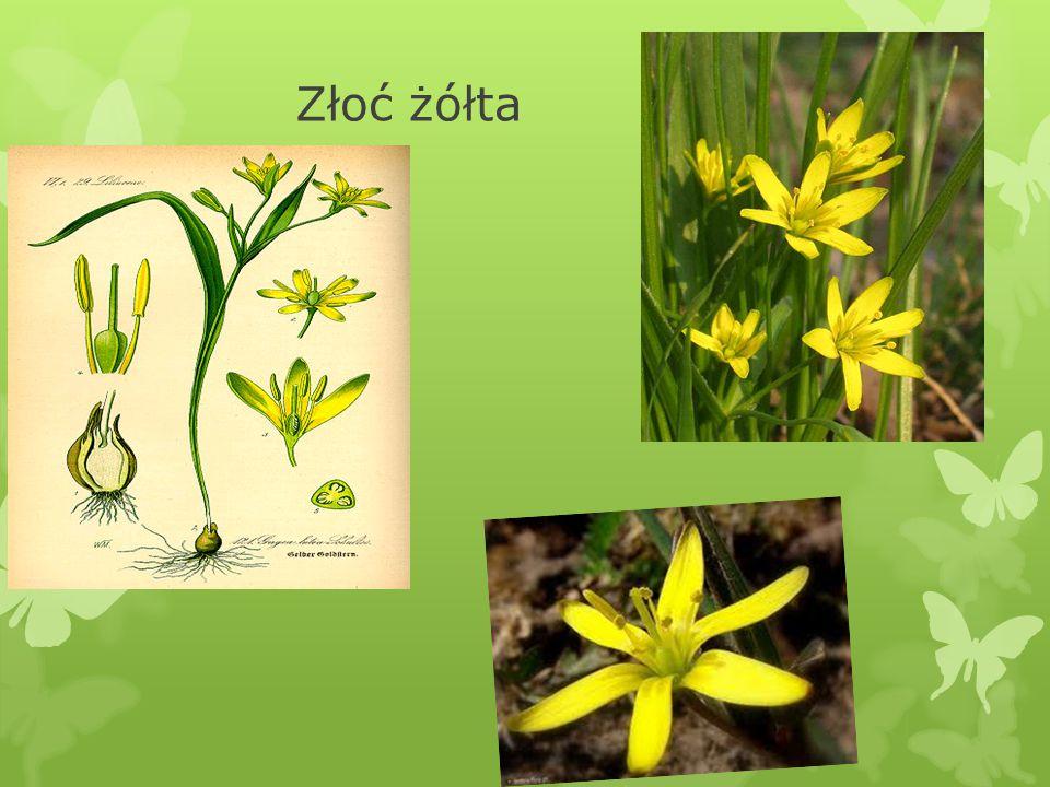 IV. Złoć żółta Gagea lutea  Złoć żółta była pierwszą rośliną w zielniku Paszczaka w książce Tove Jansson